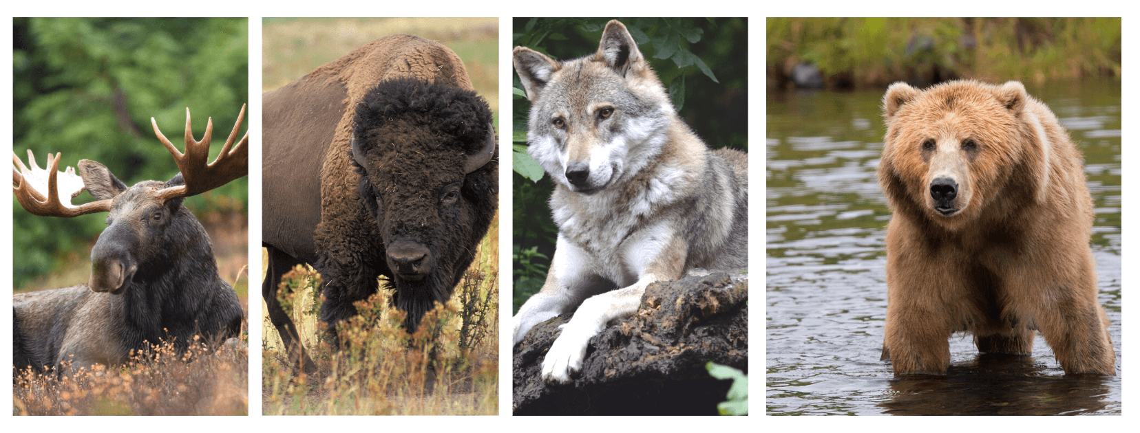Must-See Wildlife in Canada